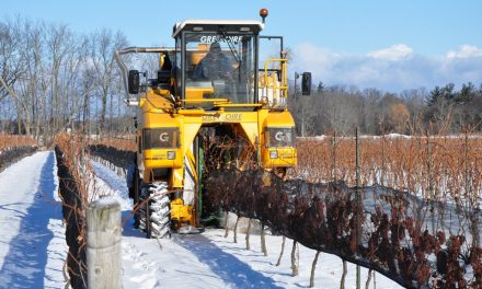 Icewine harvest adds to tourism experience