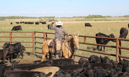 Cattle aerate and fertilize their own pastures