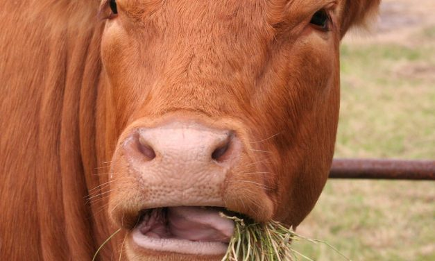Cow burps, not farts, point the way to sustainability