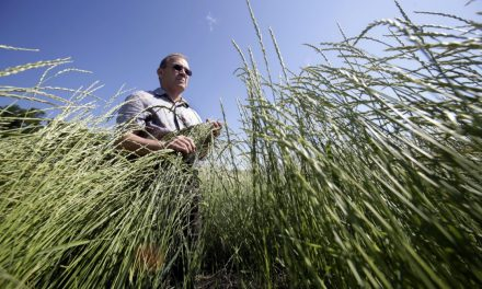 Kernza: A crop to really root for