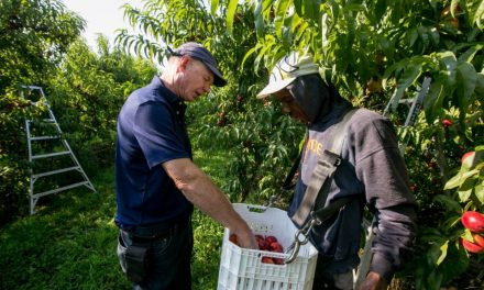 Nectarines are the next big thing in Ontario fruit