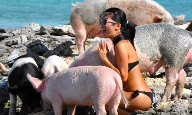 Swimming pigs: they're bringing home the bacon