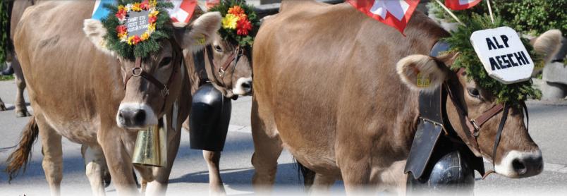 Clean cows of Switzerland