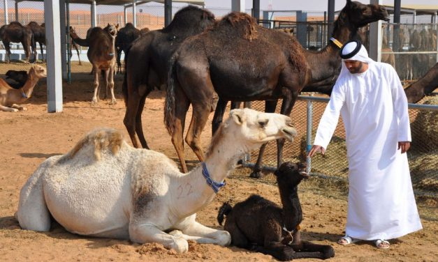 Abu Dhabi: Where tourists flock to falcons and camels