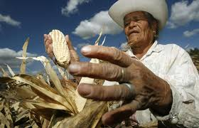 New battle emerges against GMO crops