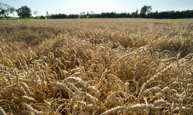 Genetically modified wheat?