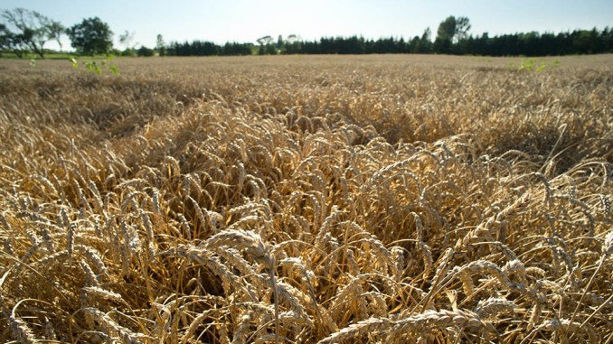 Genetically modified wheat?