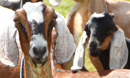 No kidding: small ruminants are coming on big