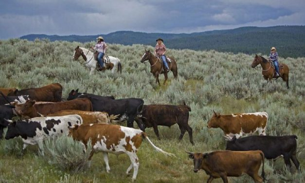 Montana cattle drive welcomes city slickers