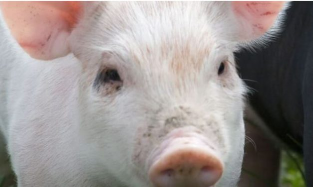 New technology to reduce antimicrobial use in pigs