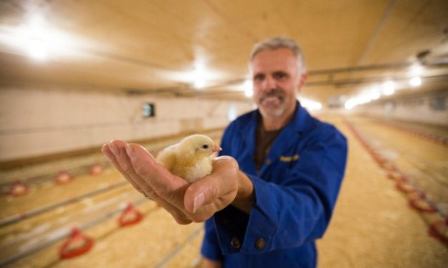 Canadian chicken farmers are rethinking antibiotics