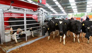 Dairy cows being milked by a robotic milker. Photo credit www.stuff.co.nz.