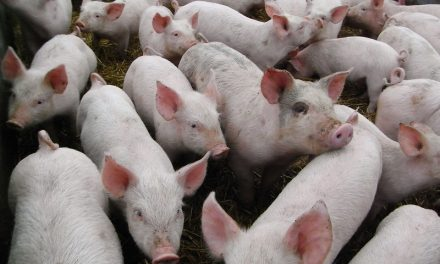 Pork producers want $50 million to fight African Swine Fever