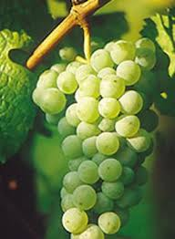Riesling grapes. Photo from www.winesofcanada.com